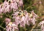 Flores Marmolada
