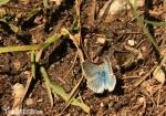 Marmolada mariposas