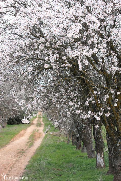 Almendros en flor Alcala de Henares