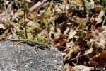 Salamandra El Paular