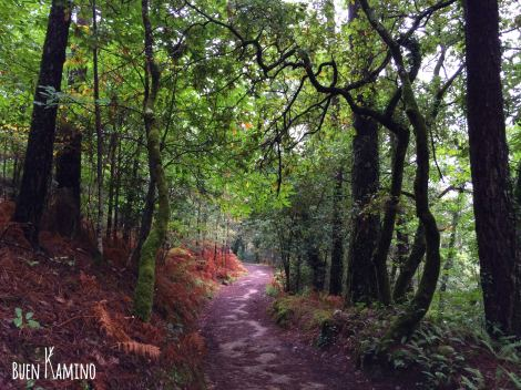 Camino de Santiago bosque